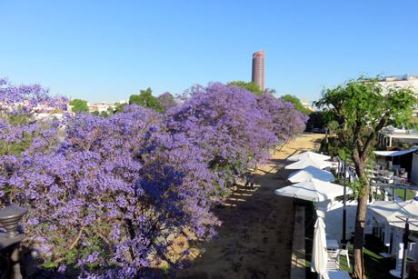 Jacaranda trees in Seville